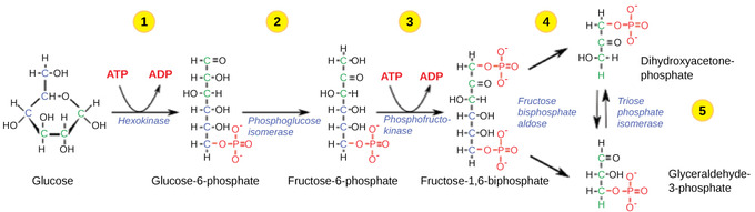 in glycolysis there is a net gain of _____ atp