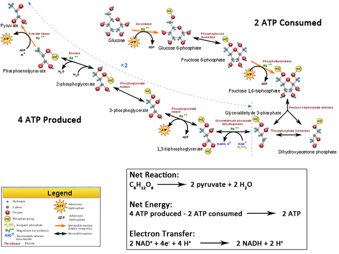 what is an end product of glycolysis
