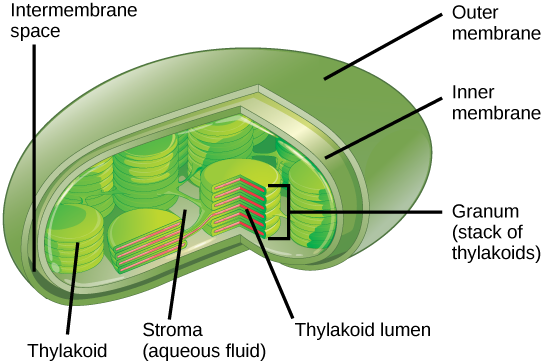 Overview of photosynthesis boundless biology structure of the chloroplast photosynthesis takes place in chloroplasts which have an outer membrane and an inner membrane stacks of thylakoids called ccuart Choice Image