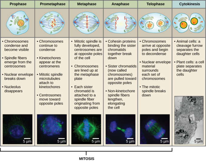 Phases of mitosis fieldstation phases of mitosis ccuart Image collections