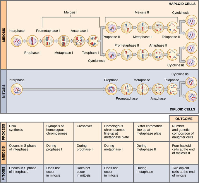11.1D: Comparing Meiosis and Mitosis - Biology LibreTexts
