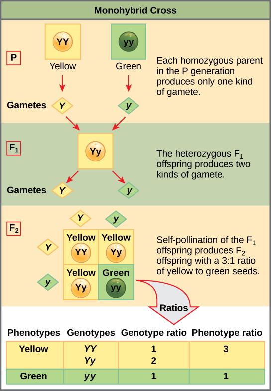 Patterns Of Inheritance Boundless Biology