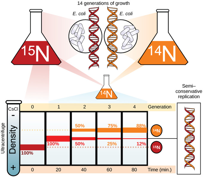 dna replication boundless biology meselson and stahl meselson and stahl experimented e coli grown first in heavy nitrogen 15n then in ligher nitrogen 14n dna grown in 15n red