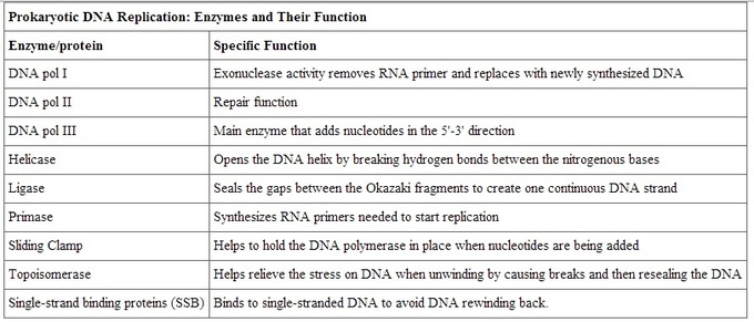 Dna Replication Boundless Biology