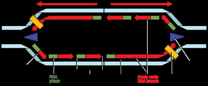 mechanism of replication in prokaryotes
