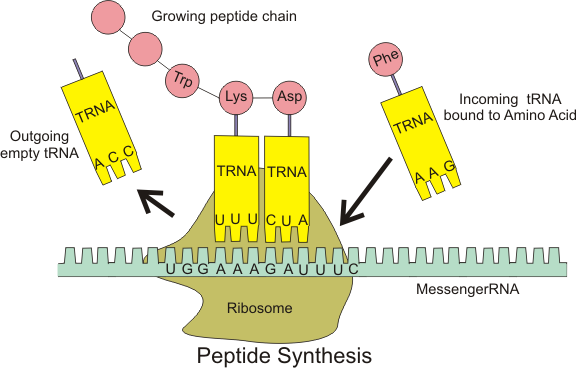 Ribosomes And Protein Synthesis Boundless Biology