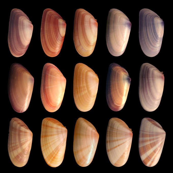 bivalve single parents A bivalve is an animal belonging to the class bivalvia its name is a reference to the two shells, called valves, that protect its soft inner body parts the valve is opened and closed using a muscle called a foot they're aquatic animals, and different species of bivalves can be found in freshwater, saltwater and brackish water environments.