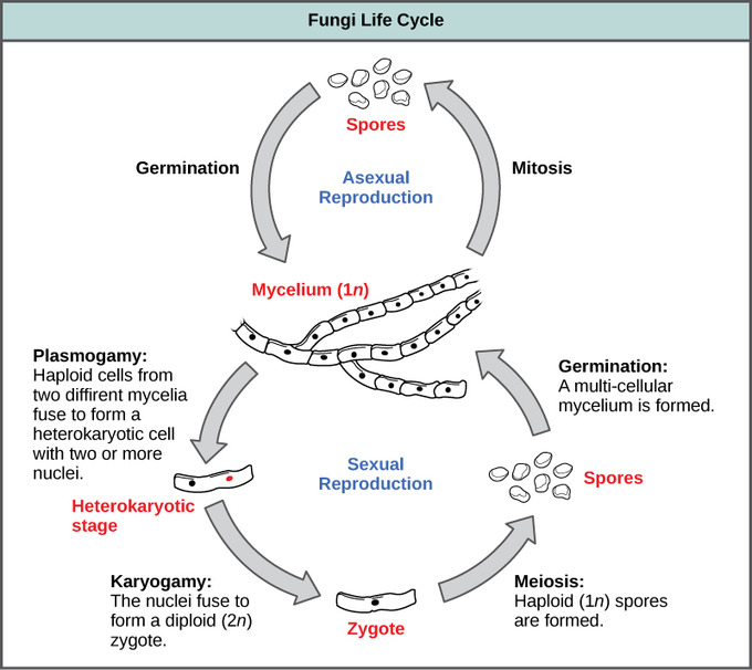 Under what conditions do sexual and asexual reproduction occur in fungi