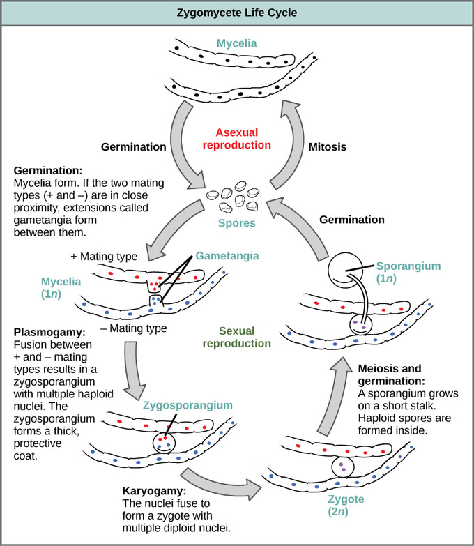 Deuteromycota asexual reproduction in humans