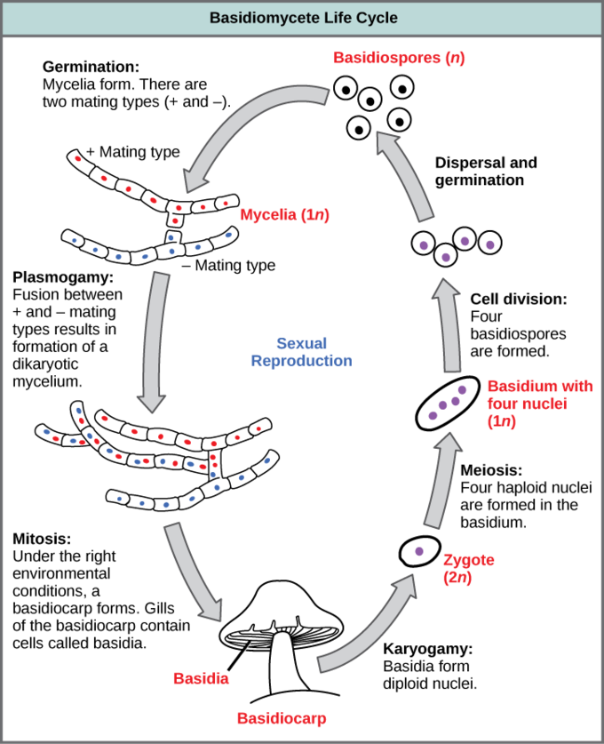 Zygomycota and ascomycota vs basidiomycota asexual reproduction