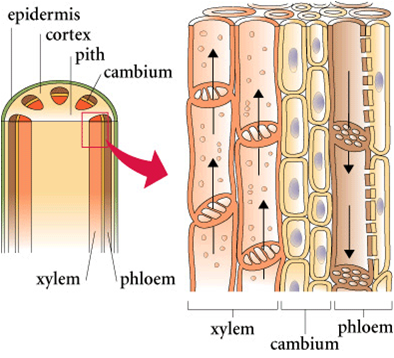 Seedless Vascular Plants | Boundless Biology