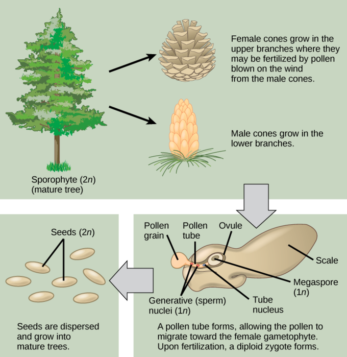 Gymnosperms | Boundless Biology