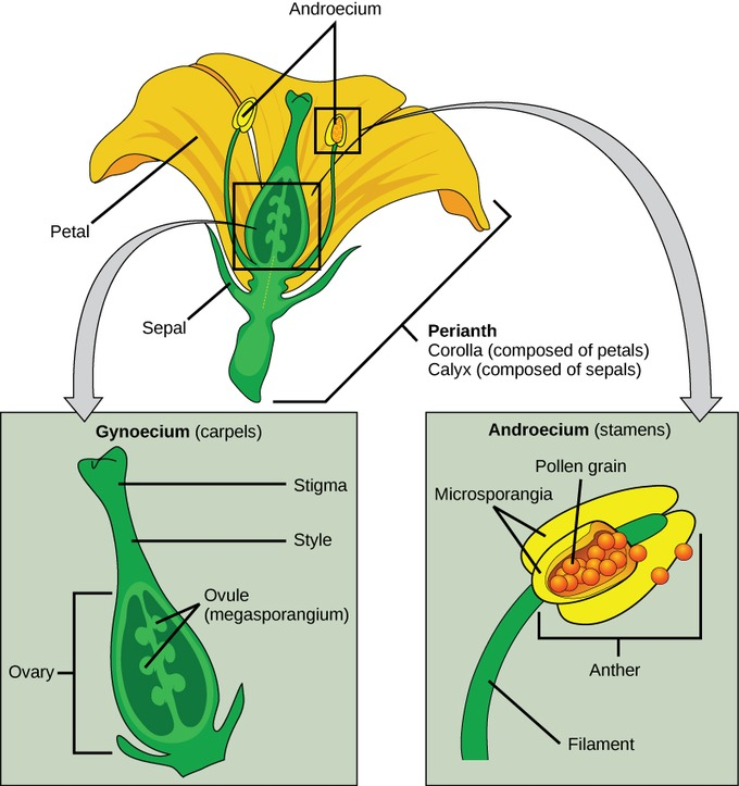 Angiosperms boundless biology structure of flowers this image depicts the structure of a flower perfect flowers produce both male and female floral organs the flower shown has only ccuart
