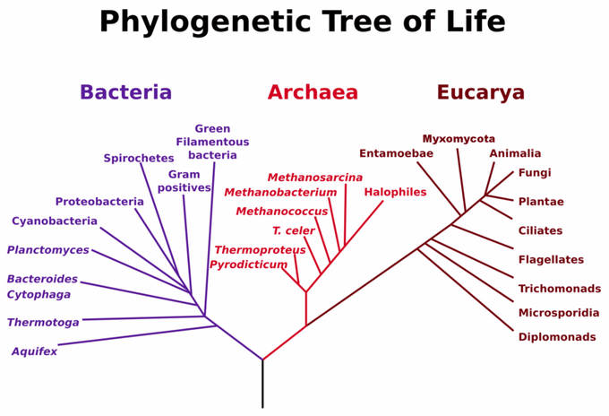 Animal Phylogeny Boundless Biology