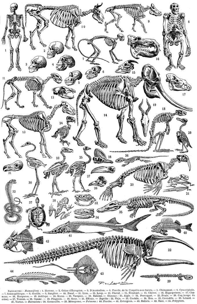 Chordates | Boundless Biology