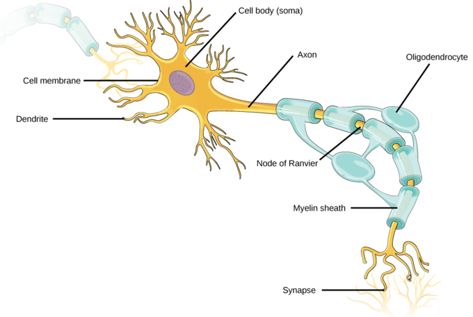 Neurons and Glial Cells | Boundless Biology