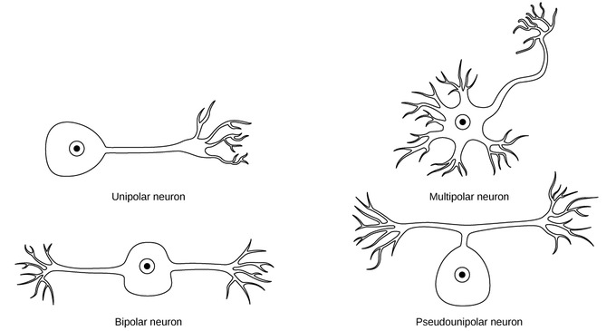 Image result for unipolar and bipolar neurons