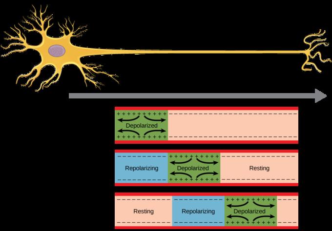 How Neurons Communicate Boundless Biology