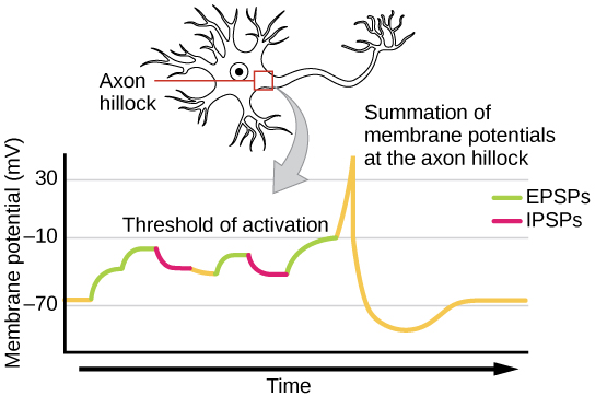 How neurons communicate boundless biology signal summation at the axon hillock a single neuron can receive both excitatory and inhibitory inputs from multiple neurons all these inputs are added ccuart Choice Image