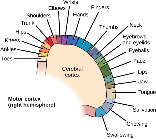The Central Nervous System Boundless Biology