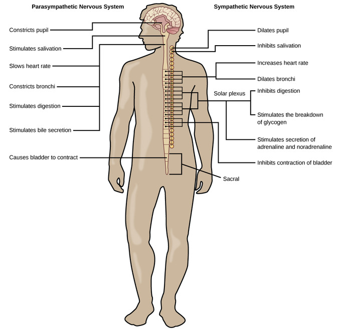 The Peripheral Nervous System Boundless Biology