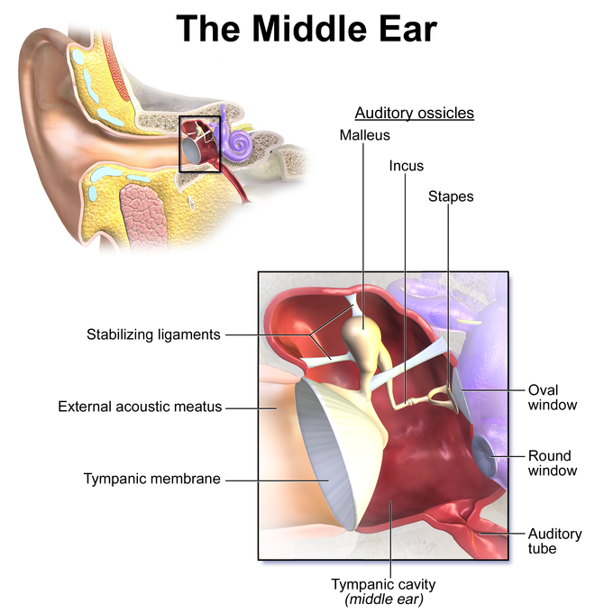 Hearing and vestibular sensation boundless biology image diagram ccuart Gallery