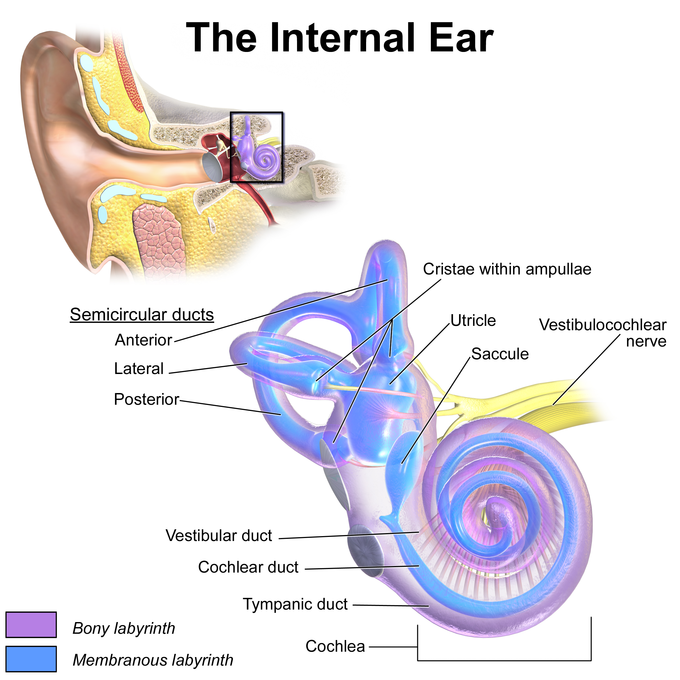 Hearing And Vestibular Sensation Boundless Biology