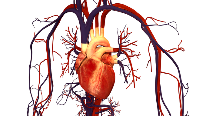 Overview Of The Circulatory System Boundless Biology