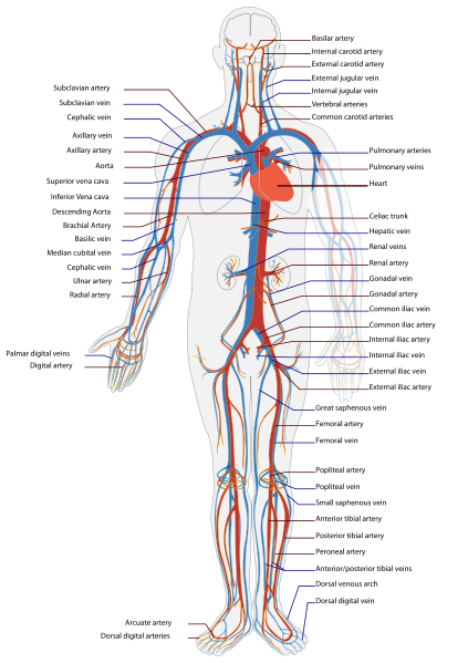 blood flow and blood pressure regulation | boundless biology, Sphenoid