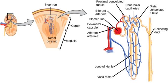 Human osmoregulatory and excretory systems boundless biology diagram of a nephron ccuart Image collections