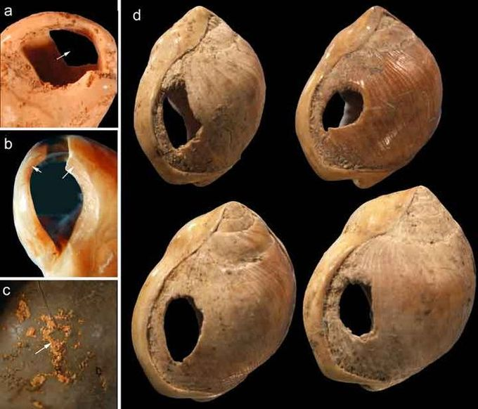 Five photographs of the sea snail shells used by Homo sapiens to make beads. The photographs show uniformly colored and sized shells with holes carved into them.