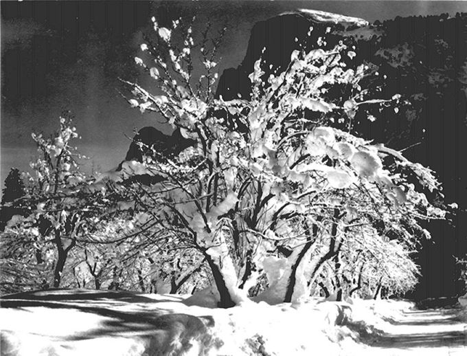 This shows the black and white photo Yosemite trees with snow on branches by Ansel Adams. Ansel Adams was one of the co-founders of Group f/64, a group of photographers known who shared a common style characterized by sharp-focused and carefully framed images.