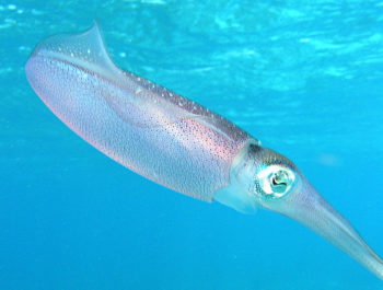 A translucent squid