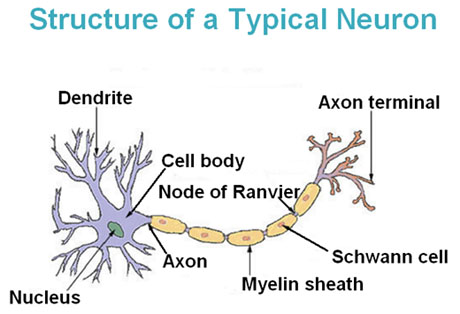 Psychology Of An Axon Diagram Illustration Of Wiring Diagram