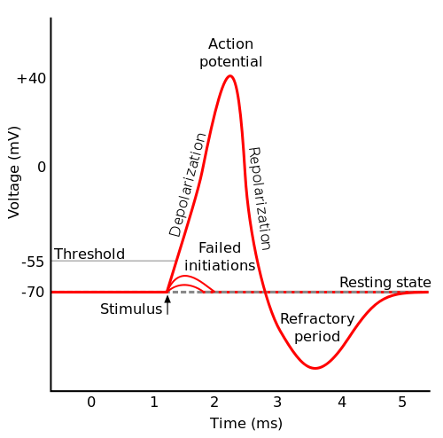 action potential steps