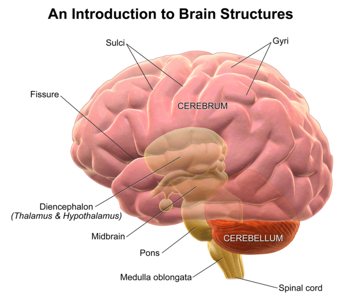 structure and function of the brain boundless psychologysulci and gyri as depicted in this diagram of brain structures, sulci are the \u201cvalleys\u201d and gyri are the \u201cpeaks\u201d in the folds of the brain