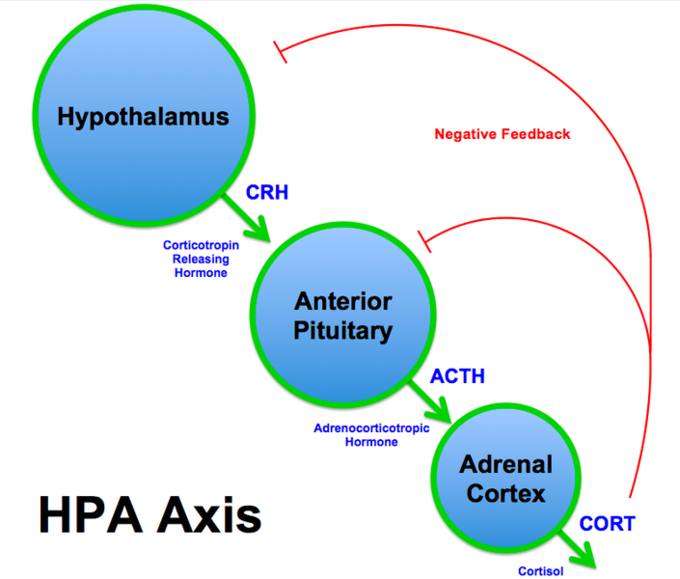 The hypothalamus produces Corticotropin Releasing Hormone (CRH), which activates Adrenocorticotropic Hormone (ACTH) production in the Anterior Pituitary, which activates Cortisol production in the Adrenal Cortex. The Cortisol influences negative feedback to the Hypothalamus and the Anterior Pituitary.