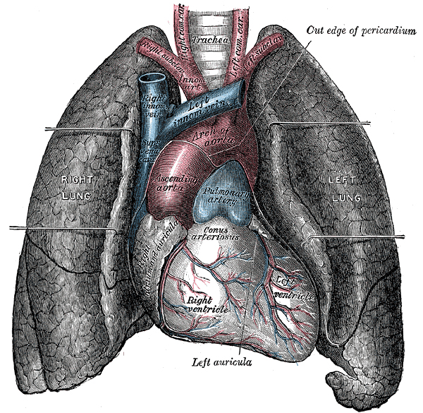 This image depicts the human heart and lungs with parts labeled.