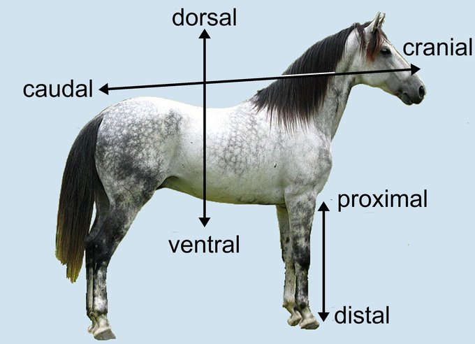 This image uses a drawing of a horse to demonstrate the terms cranial, caudal, proximal, distal, dorsal, and ventral.