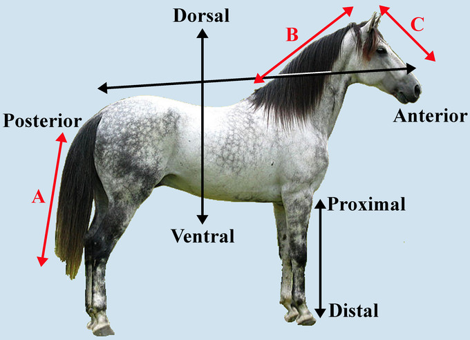 In this image, a horse is labeled with directional terms including anterior, posterior, distal, ventral, dorsal, and proximal. In addition, three red arrows indicate potential axes: one the length of the horse's tail, one the length of the neck, and one the length of the head.