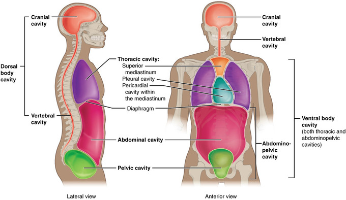 Mapping The Body Boundless Anatomy And Physiology