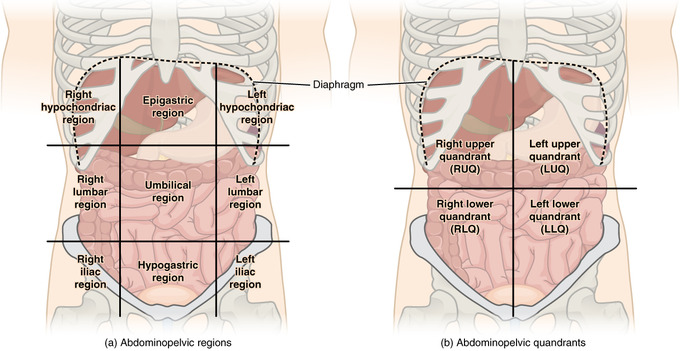 This image illustrates the organs included in the four quadrants and nine regions as described above.