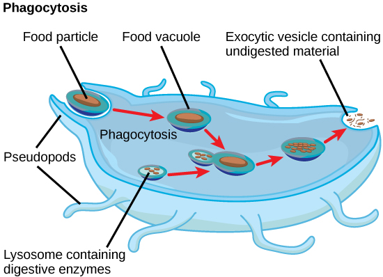 anatomy and physiology phagocytosis Phagocytosis of circulating antigens initiates clinical anatomy by regions 8th guyton and hall textbook of medical physiology 11th ed.