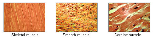 The illustration shows three closeup, color photographs of muscle types. The cardiac and skeletal muscle types display regular, repeating patterns of sarcomeres. The smooth muscle displays random patterns. Both cardiac and smooth muscle are involuntary while skeletal muscle is voluntary.