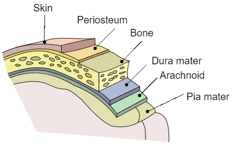 This figure displays the meninges with respect to the skull and surface of the brain.