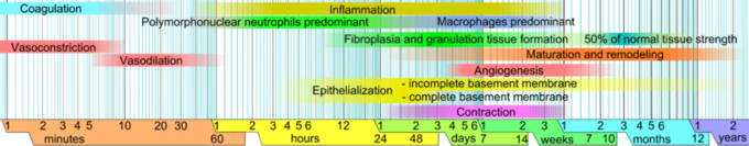 This is an image of a graph showing the length of time for various responses to occur during an inflammatory infection. Limits vary within faded intervals, mainly by wound size and healing conditions. The image does not include major impairments that cause chronic wounds.