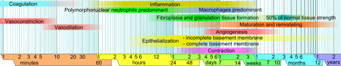 This image illustrates the inflammation response phase of wound healing over time. Time limits vary within faded intervals, mainly by wound size and healing conditions. The image does not include major impairments that cause chronic wounds.