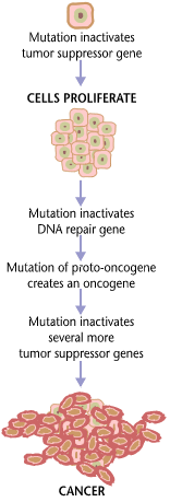 This is a chart of the pathway of cancer development. It shows how cancer develops due to mutations that inactivates the tumor suppressor gene and causes cells to proliferate. This causes the DNA repair gene to inactivate, which helps create an oncogene, which inactivates more tumor suppressor genes and leads to cancer.