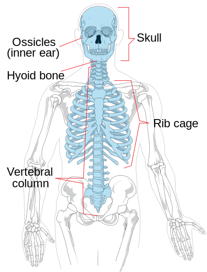 This is a drawing of the human skeleton with the axial skeleton (consisting of the ossicle, skul, hyoid bone, rib cage and vertebral column) highlighted in blue.