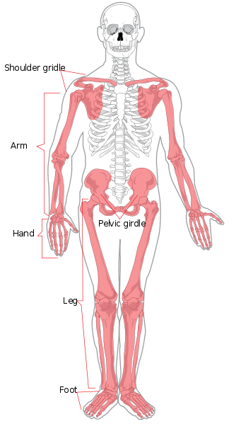 This is a full frontal diagram of the human skeleton with the appendicular skeleton colored red. The red parts are labeled as the shoulder girdle, arm, hand, pelvic girdle, leg, and foot.